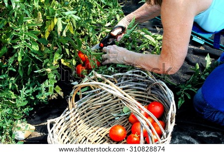 Mature female picking tomatoes from her organic garden outside.