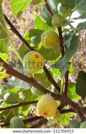 mature figs in the branch of the fig tree
