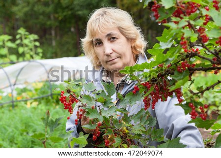 Mature gardener growing red currant in her kitchen garden, ripe berries