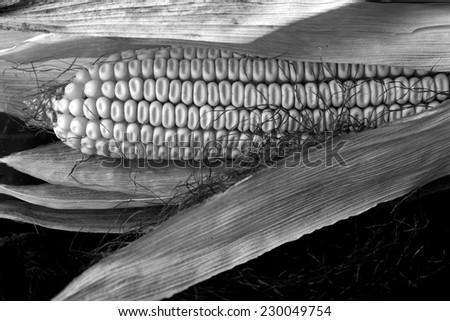 Mature maize ear, monochrome - stock photo
