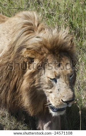 Mature male lion (Pathera leo) on move through the long grasses of the African savanna.   Masai Mara  National Reserve in Kenya. - stock photo