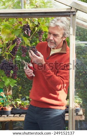 Mature Man Cultivating Grapes In Greenhouse