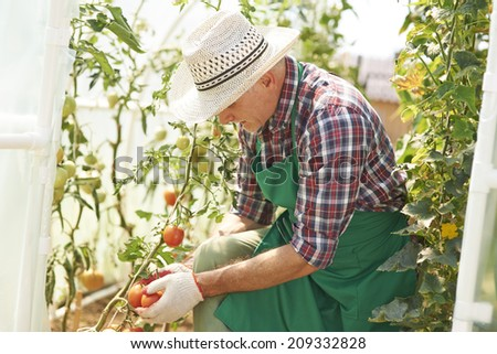 Mature man working in greenhouse - stock photo