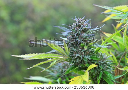 Mature marijuana bud - stock photo