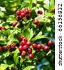 Mature nice red hawthorn berries - stock photo