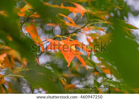 mature orange maple leaves around green leaves in fall season