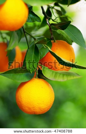 Mature oranges on tree.