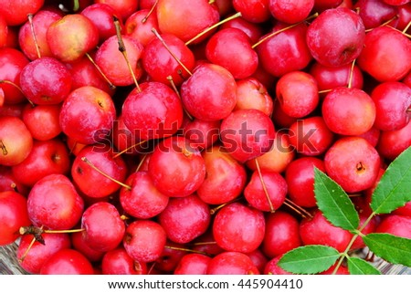 Mature perfect and red crab apples