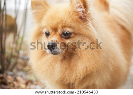 Mature Pomeranian Dog