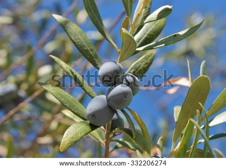 mature ripe black olives grow on olive tree branch in Spain with sky background