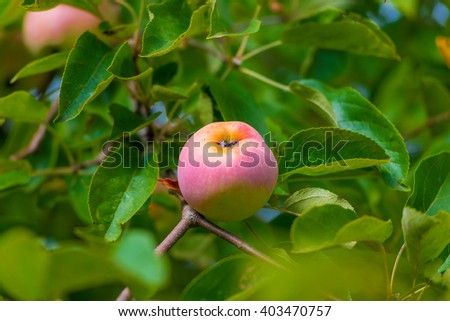 mature rose apple on a branch in a garden close up