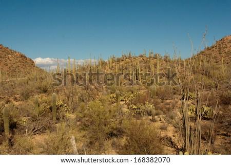 Mature Saguaro Cactus in Tucson, Arizona - stock photo