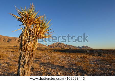 Mature Spanish Dagger Yucca in front of a the Franklin Mountains. Copy space on right.