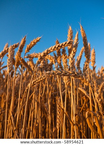 Mature stalks of rye with a beautiful blue sky in the background - stock photo