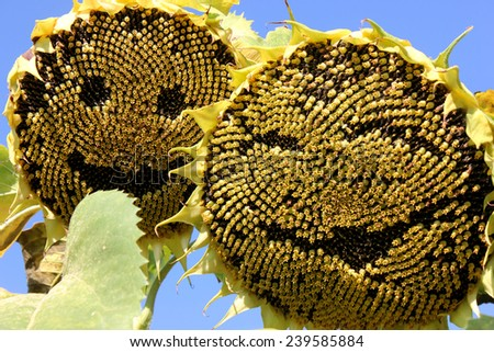 Mature sunflowers are interested in your major person.