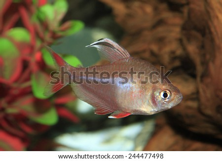 Mature White Finned Rosey Tetra In an Aquarium - stock photo