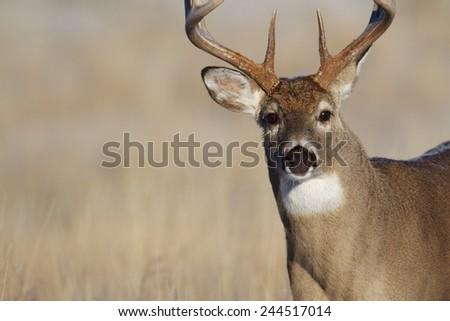 Mature Whitetail Buck, highly detailed close up portrait free range deer hunting in midwestern states Ohio Illinois Indiana Michigan Wisconsin Minnesota Missouri Kansas Nebraska North South Dakota  - stock photo