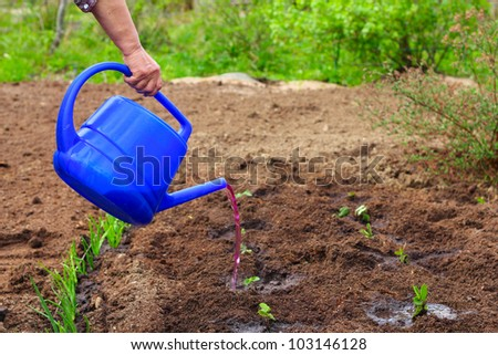 Mature woman watering strawberry seedling in garden - stock photo