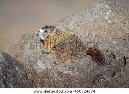 Mature Yellow-bellied marmot perched on lava rocks in the sun.
