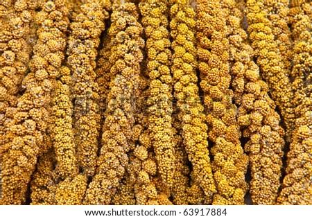 Maturing millet - stock photo
