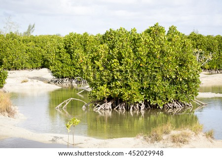 Mauritian Mangrove forest, focusing on a cluster of mangrove trees growing in shallow water in a sandy tidal flat. - stock photo