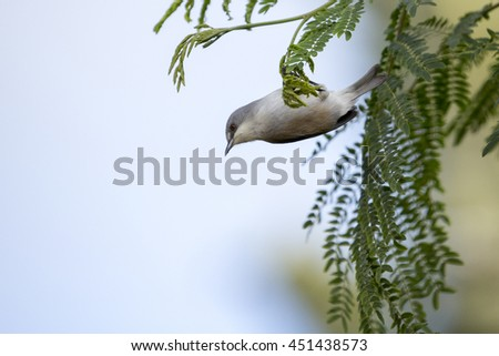 Mauritius grey white-eye (Zosterops mauritianus) perching upside-down from a low hanging, shaded tree branch.