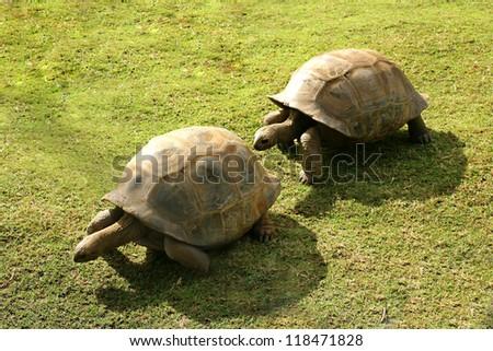 Mauritius Turtle - stock photo