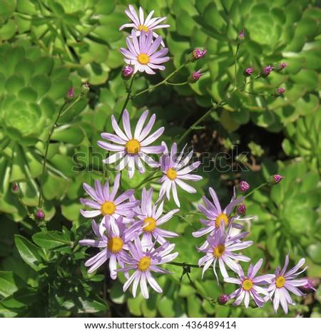Mauve Flowering Senecio glastifolius in a garden on the Island of Tresco in the Isles of Scilly, England, UK - stock photo