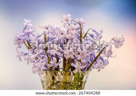 Mauve Hyacinthus orientalis flowers (common hyacinth, garden hyacinth or Dutch hyacinth) in a transparent vase, close up, blue gradient background - stock photo