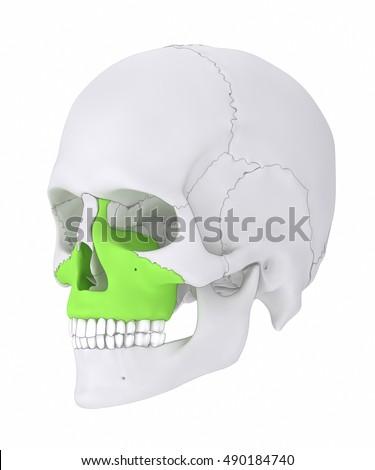 maxilla corpus maxillae