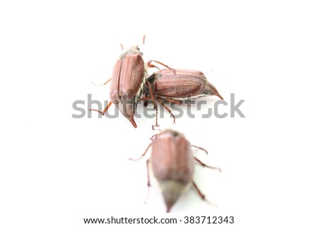 may-bug closeup isolated on a white background