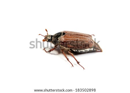 May bug isolated on the white background