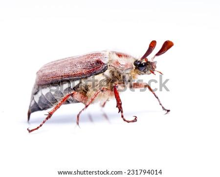 May-bug isolated on white - stock photo