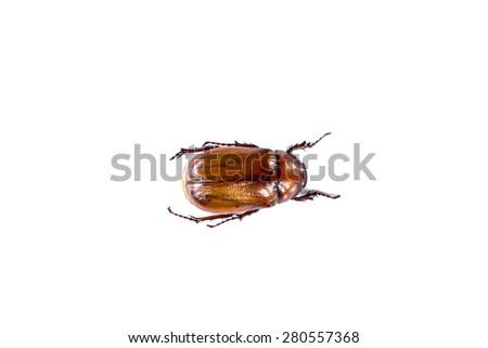 May bug isolated on white - stock photo