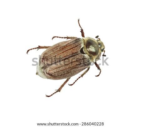 may-bug isolated on white background - stock photo