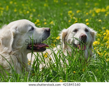 may 2016, Moscow, Russia. Dogs breed retriever walk in the meadow with dandelions on a sunny day - stock photo