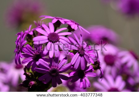 May wildflowers in full splendor, pericallis webbii, Canary islands - stock photo