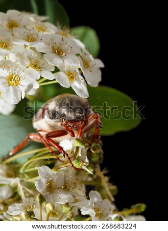 Maybug  beetle (Cotinis nitida) in blooming Maythorn (Crataegus monogyna) isolated on black  - stock photo