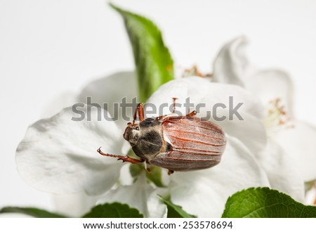 Maybug beetle (Cotinis nitida) in orchard on apple white flower  - stock photo