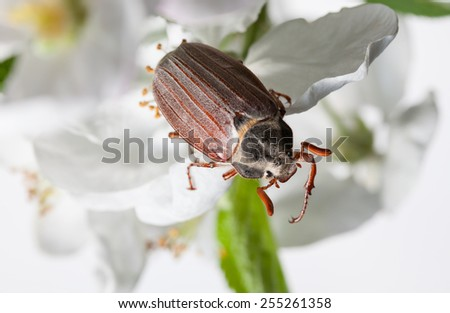 Maybug beetle (Cotinis nitida) on apple white flower