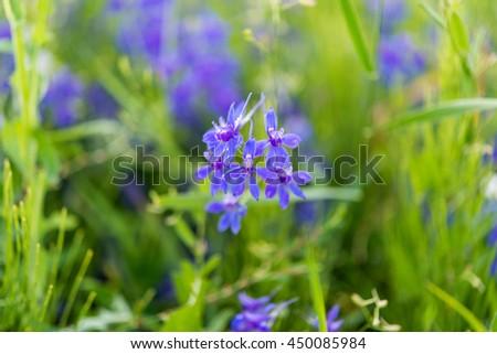 meadow blue flowers on a meadow - stock photo