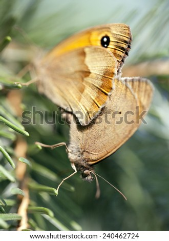 Meadow brown butterflies maniola jurtina meeting together - stock photo