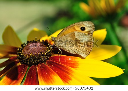 Meadow Brown Butterfly (maniola jurtina) on the Rudbeckia bloom