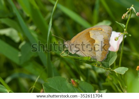 Meadow brown (Maniola jurtina) butterfly resting in shadows of summer herbs - stock photo