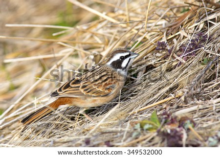 Meadow bunting sitting on grass. - stock photo