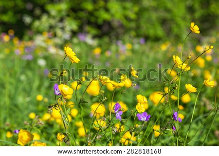Meadow buttercup in a meadow at summer - stock photo