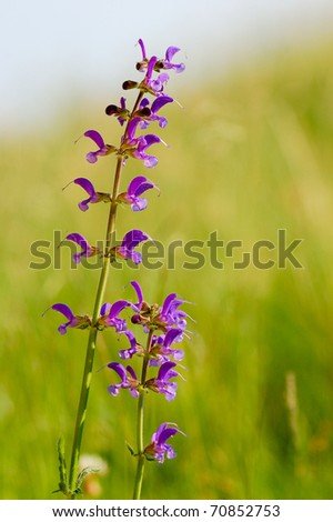 Meadow clary (Salvia pratensis) on a summer day