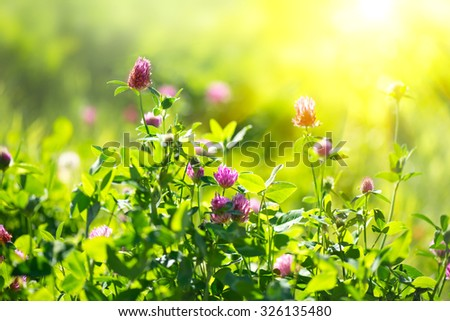 Meadow. Clover flowers growing on spring field. Blooming Bright wild flowers closeup. Sun flare, nature - stock photo