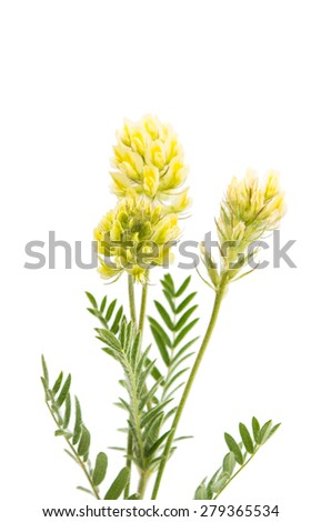 meadow flower plant on a white background - stock photo