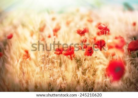 Meadow flower - poppy flowers - stock photo